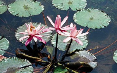 Probation is Over with the Water Lilies